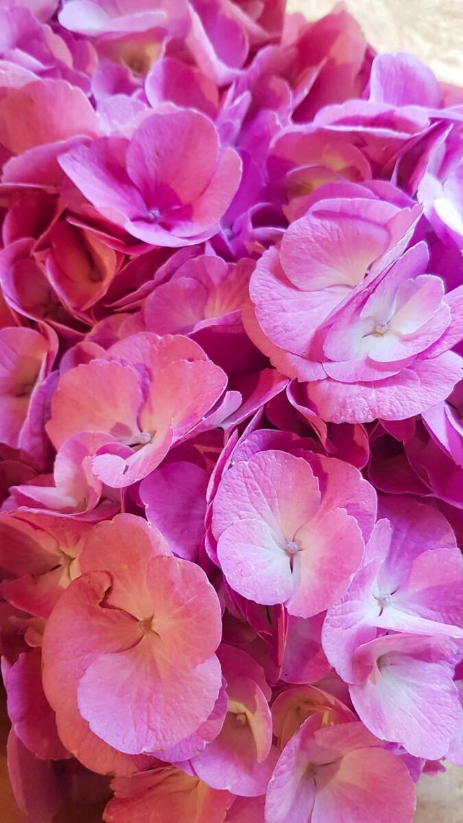 Ορτανσία Ένα Ανοιξιάτικο Λουλούδι
